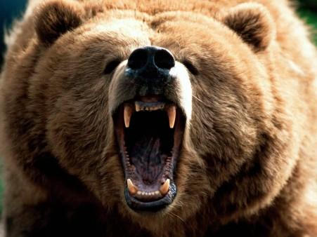 animals-bear-angry-brown-bear-wallpaper