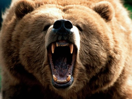 animals-bear-angry-brown-bear-wallpaper